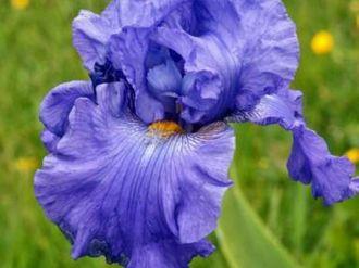 Les Iris\istibles Bréal-sous-Montfort