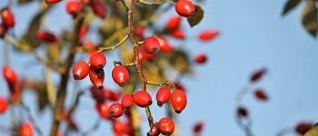 Atelier d\herboristerie sur les bienfaits des baies et des fruits sauvages VANNES