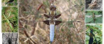 Sortie nature  Les libellules de la Vallée de l\Arz PLUHERLIN