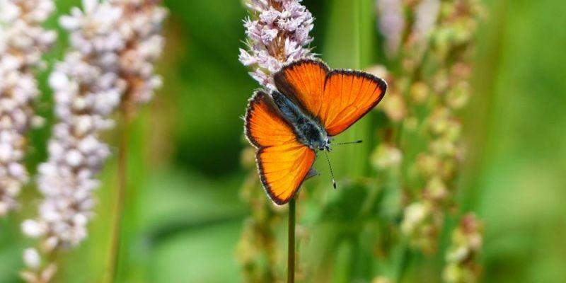 A la chasse aux papillons  à Saint-Gildas-de-Rhuys
