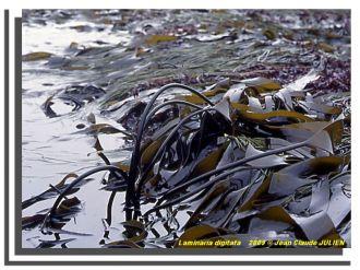 Le monde secret et fascinant des algues. Piriac-sur-Mer