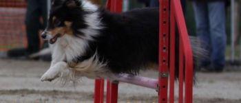Sport canin : concours d'agility. Brest
