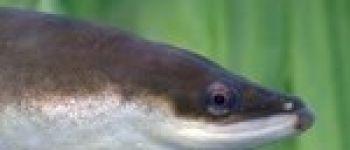 Le Brochet, un poisson pas si bête ! Oudon