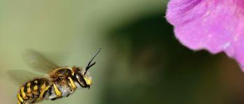 Au secours des abeilles sauvages! Pornic
