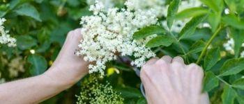 Balade plantes comestibles Rennes