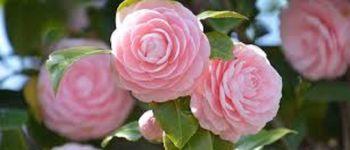 Camellias en Fête Ploumilliau