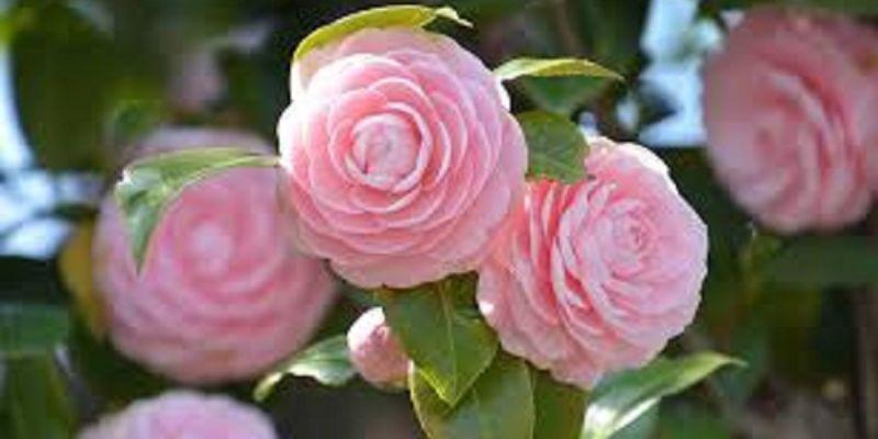 Camellias en Fête