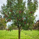 Plantation d'arbres fruitiers Plouguerneau