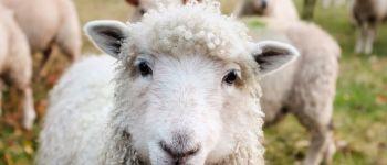 Tonte des moutons Hanvec