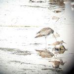 Découverte des oiseaux de la baie de Goulven. Tréflez