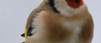 Comptage des oiseaux de jardin Morlaix