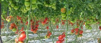 Visite d\entreprise: les serres à tomates Saint-Renan