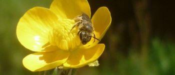 Sortie nature : au secours des abeilles sauvages Chauvé