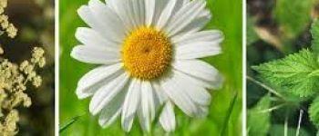 Découvrons les plantes sauvages comestibles Bouguenais